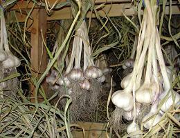 Как сохранить чеснок до весны в домашних условиях, в квартире, чтобы он не высох?