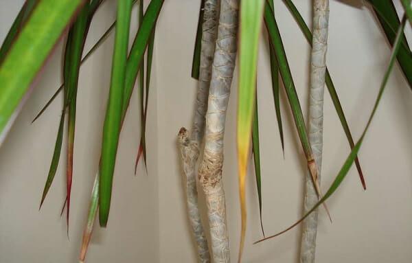 Жёлтые и сухие кончики листьев у драцены