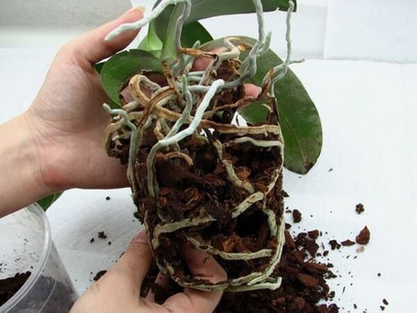 Освобождаем и распутываем корни у орхидеи