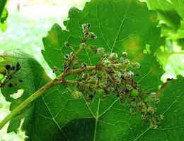 Болезни и вредители винограда описание и способы лечения. Обработка винограда. Основные препараты