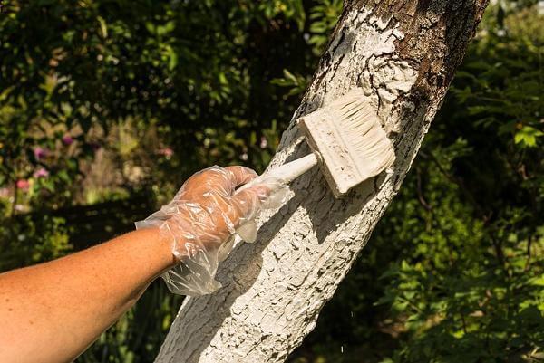 Побелка для деревьев как сделать 722