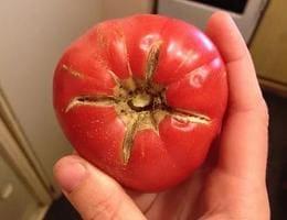 Трещины на помидоре