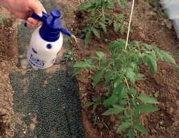 Подкормка помидор после высадки в грунт