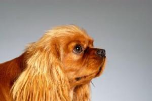 Чистые ушки - здоровая собака!