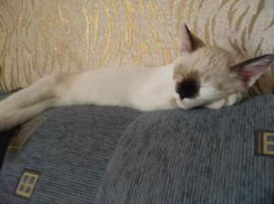 Кошка царапает мебель.