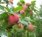 Как омолодить яблоню?
