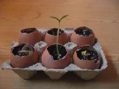 Как вырастить рассаду?