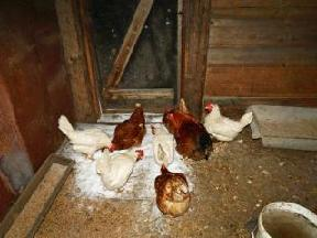 Если курицы клюют яйца.