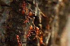 Рыжие муравьи.