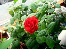 Цветение комнатной розы.