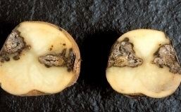 Сухая гниль картофеля