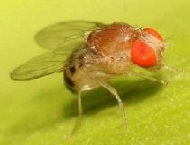 Плодовая муха (дрозофила)