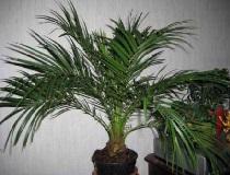 Пальма из косточки финика