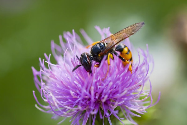 Пчела на цветке. Фото.