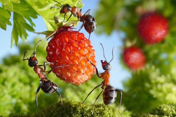 Боремся с муравьями в саду