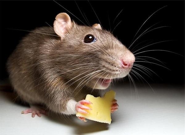 Боремся с крысами