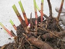 Когда пересаживать пионы и как это лучше делать?