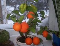 Домашний мандарин из косточки