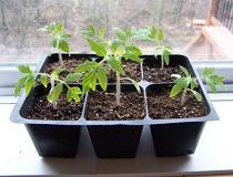 Когда сажать рассаду помидор?