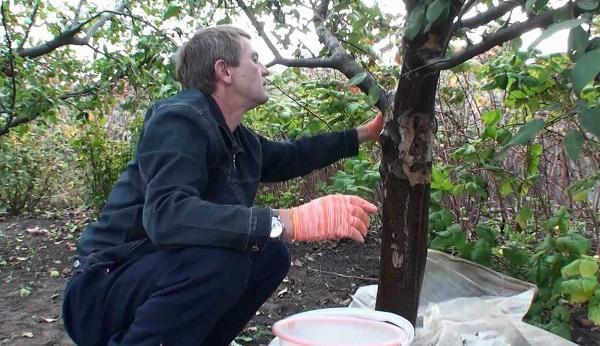Подготавливаем дерево к обработке садовым варом