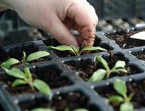 Чем подкармливать рассаду петунии?