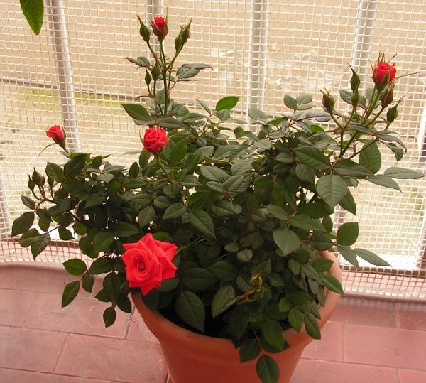 Комнатная роза на подоконнике