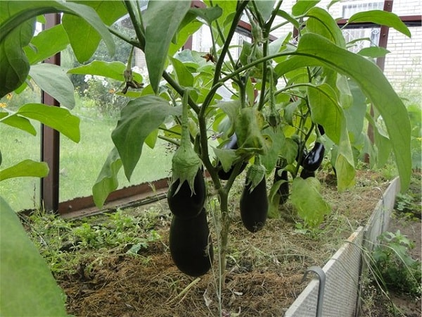 Плода баклажан