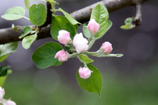 Цветение яблони весной