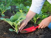 Рассада капусты выращивание в домашних условиях