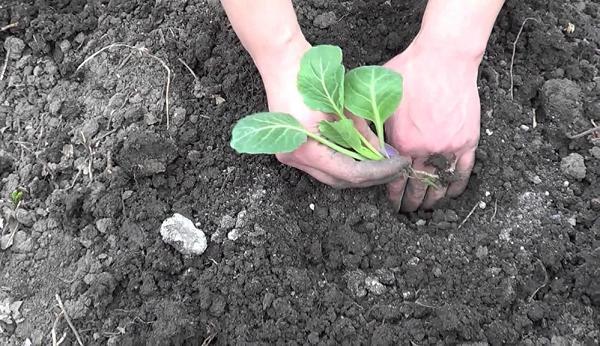 Сажаем капусту в открытый грунт