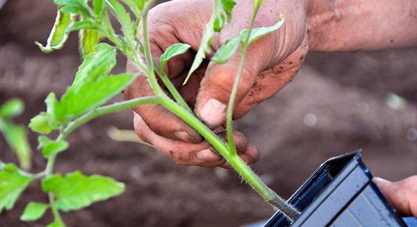 Высаживаем рассаду помидоров