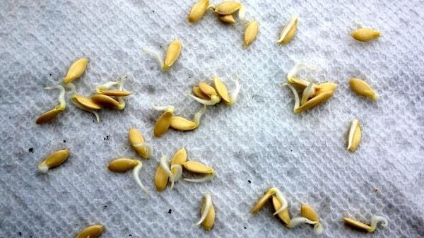 Замачивание семян перед посадкой
