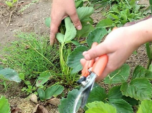 Обрезаем клубнику после сбора урожая