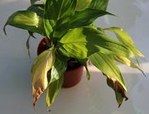 Спатифиллум желтеют листья