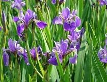 Почему не цветут ирисы и выпускают одни листья?