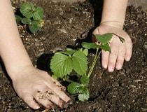 Как правильно посадить клубнику летом?