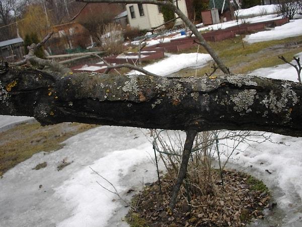 Трещина на коре весной