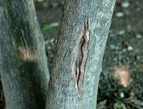 Почему трескается кора на яблоне, груше и других плодовых деревьях?