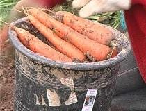 Когда убирать морковь?