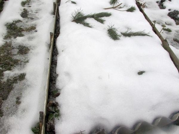 Грядки с морковью под снегом