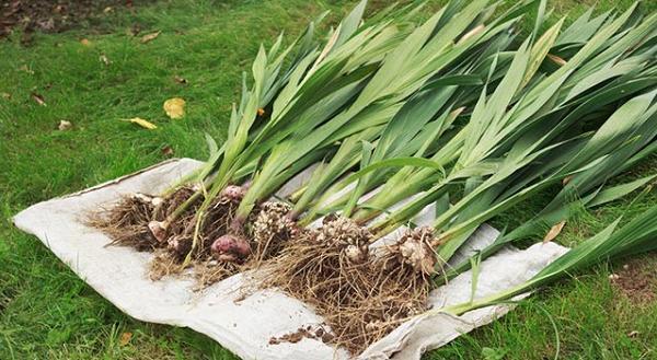 Выкапываем луковицы гладиолусов