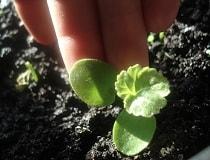 Пеларгония из семян в домашних условиях. Как вырастить?