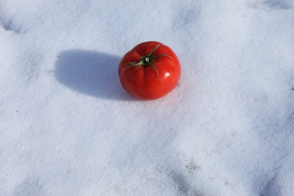 Сажаем томаты под зиму