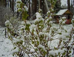 Размножение смородины черенками зимой в домашних условиях