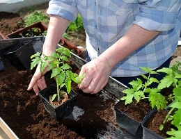 Выращиваем здоровую рассаду с «ШунгиТеррой»