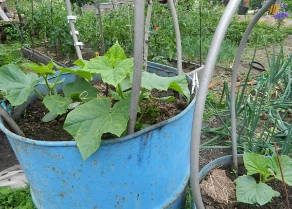 Выращивание ранних огурцов в бочке