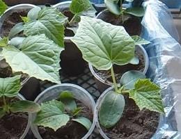Как вырастить ранние огурцы в открытом грунте?