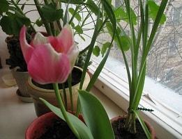 Как вырастить тюльпаны дома в горшке из луковицы?