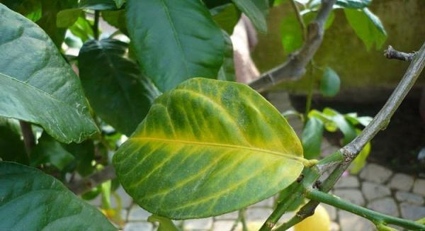 Пожелтевшие листья лимона