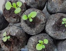 Выращивание петунии в торфяных таблетках
